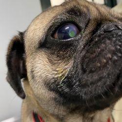 ¿Problemas oftálmicos con tu perro braquicéfalo?